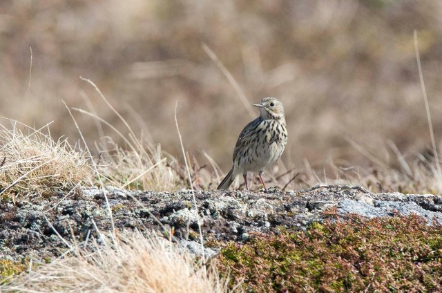 MeadowPipit