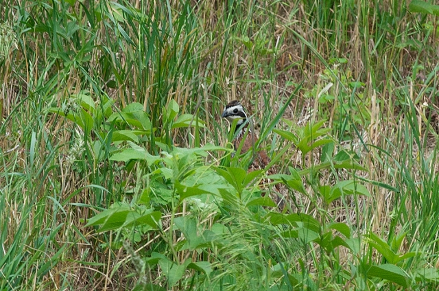 NorthernBobwhite1FB
