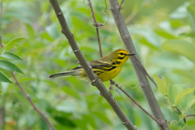 PrairieWarbler1FB