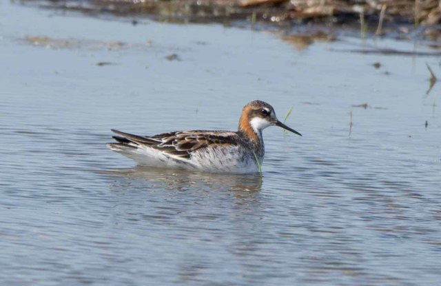 Red-neckedPhalarope2