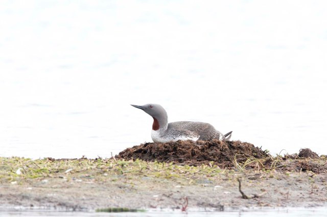 Red-throatedLoon