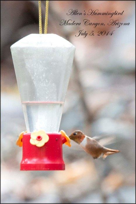 AllensHummingbird
