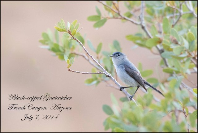 Black-cappedGnatcatcher