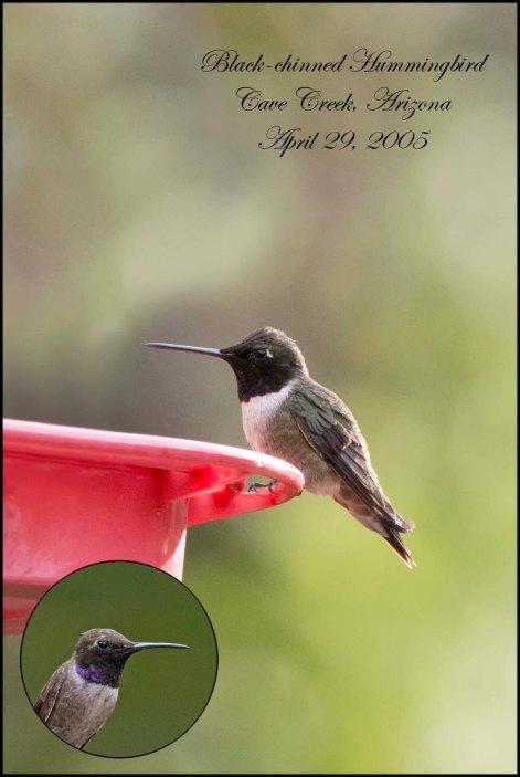 BlackChinnedHummingbird