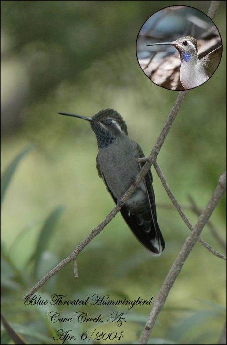 BlueThroatedHummingbird