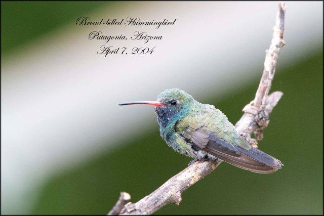 BroadBilledHummingbird