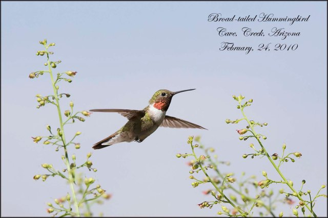 BroadtailedHummingbird