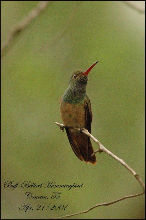 BuffBelliedHummingbird