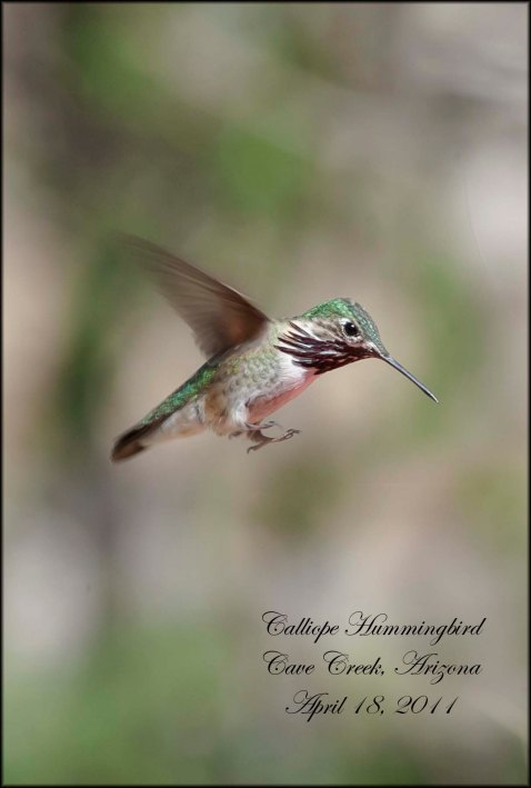 CalliopeHummingbird