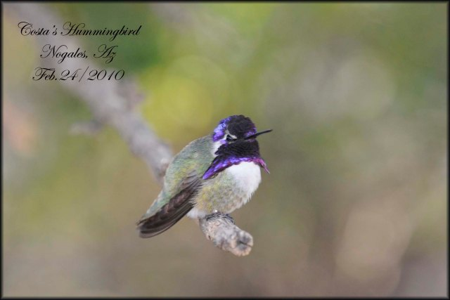 Costa'sHummingbird