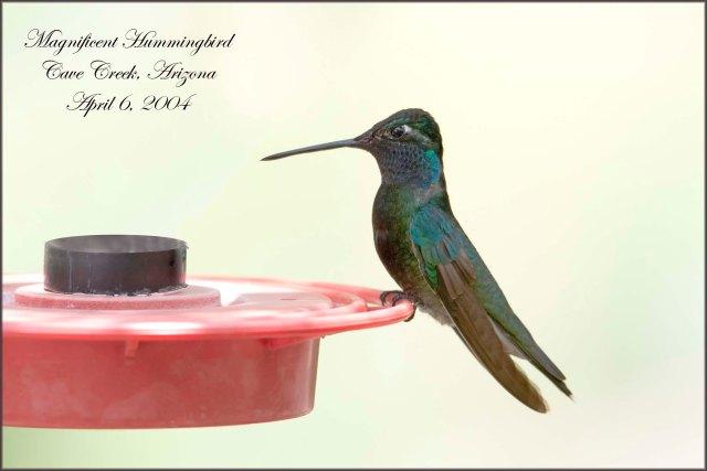 MagnificentHummingbird