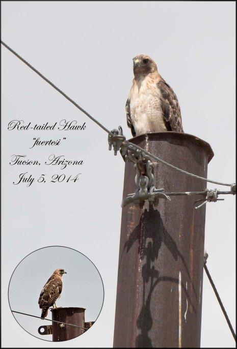 Redtailed-fuertesi-Hawk
