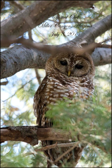 SpottedOwl