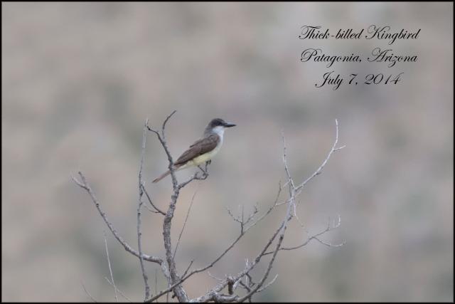 Thick-billedKingbird