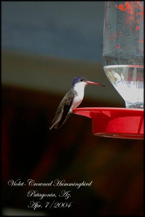 VioletCrownedHummingbird