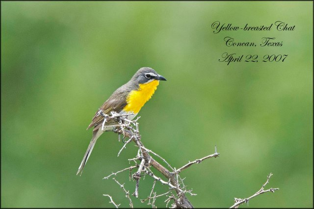 YellowbreastedChat