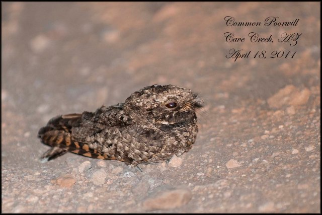 CommonPoorwill