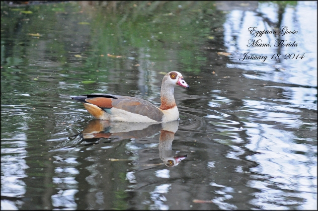 EgyptianGoose