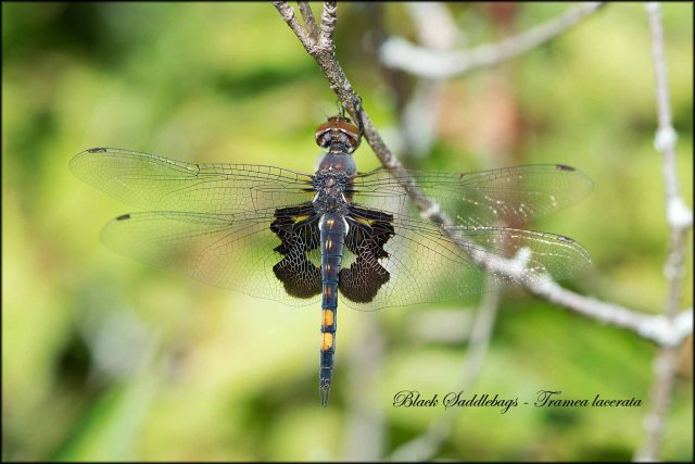 BlackSaddlebags