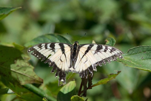 WornEasterTigerSwallowtail2014FB