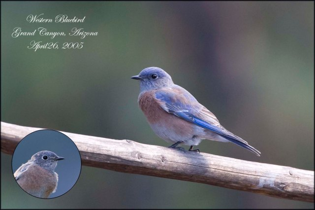 WesternBluebird