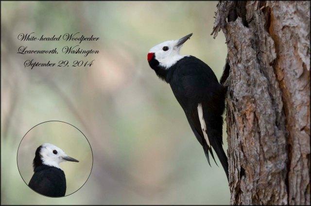 White-headedWoodpecker