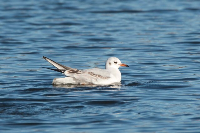 BlackheadedGull1stCycle