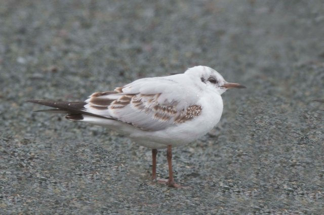 BlackheadedGull1stCycle2