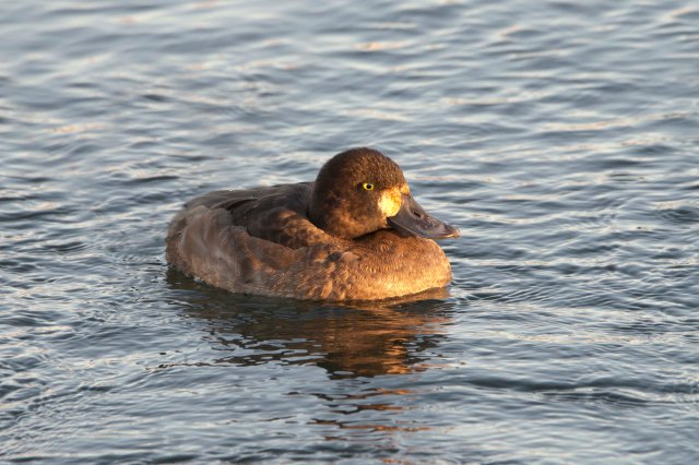 GreaterScaupAdultFemale