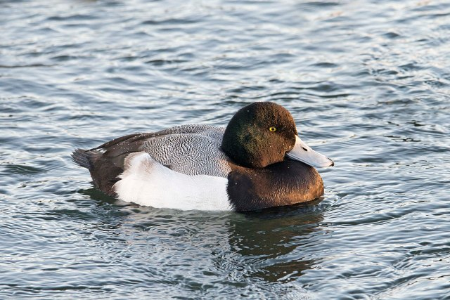 GreaterScaupAdultMale