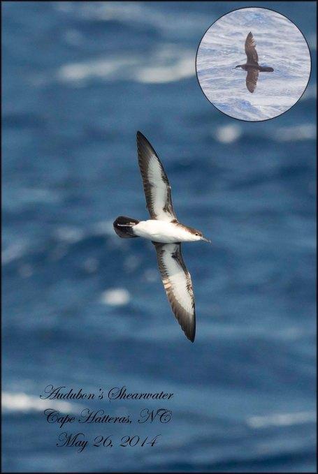 AudubonsShearwater