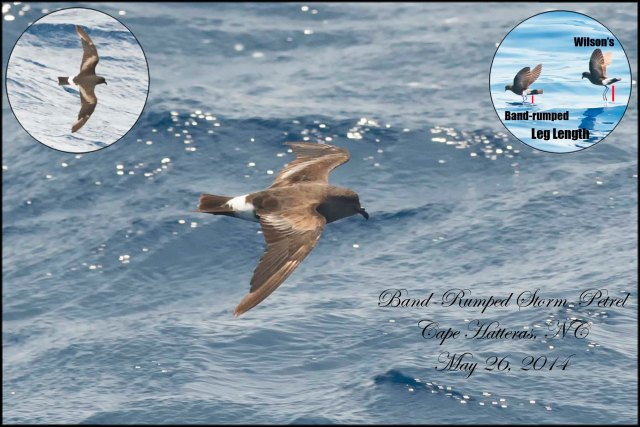 Band-rumped Storm-Petrel