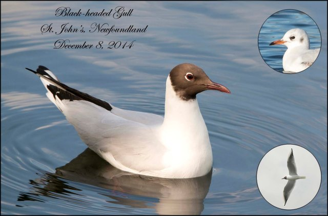 Black-headedGull