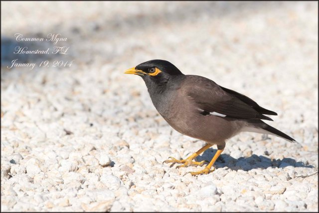 CommonMyna