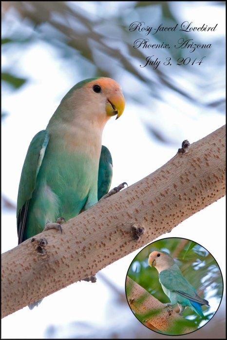 RosyfacedLovebird