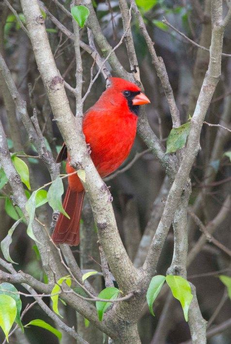Cardinal2015