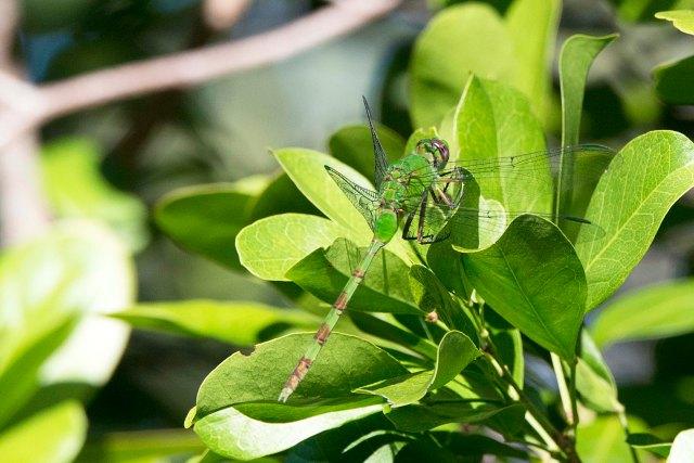 FloridaDragonfly2015