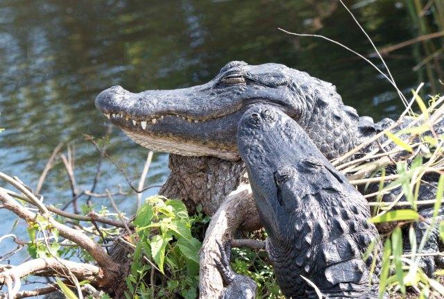Gator2015