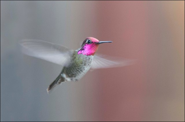 Hummingbird2015