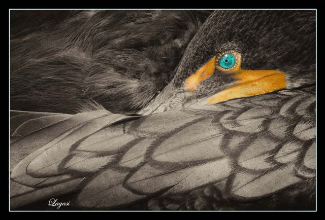 SleepingCormorantBPN