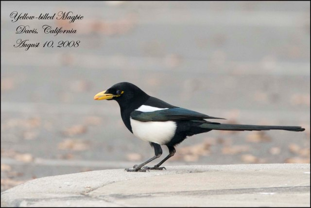 YellowBilledMagpie