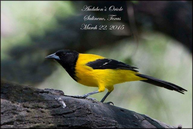 AudubonsOriole