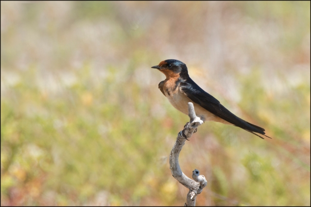 BarnSwallow2015FB