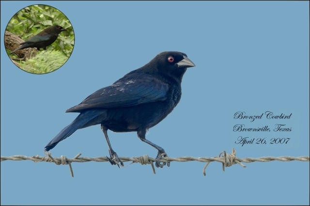 BronzedCowbird2015