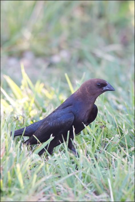 BrownheadedCowbird2015FB