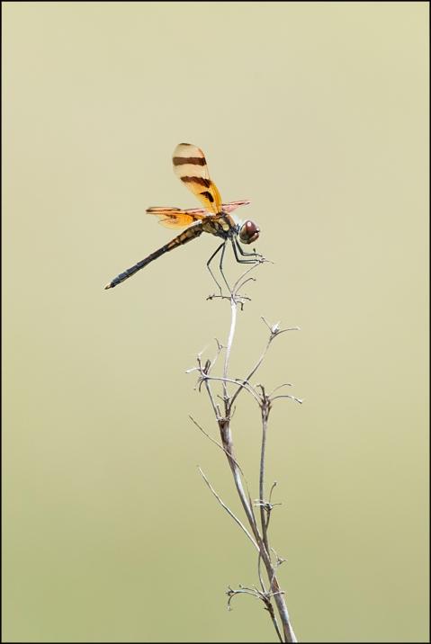 Dragonfly2015DFB