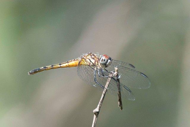 DragonflyTexas2015