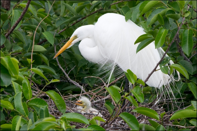 GreatEgret2015BFB