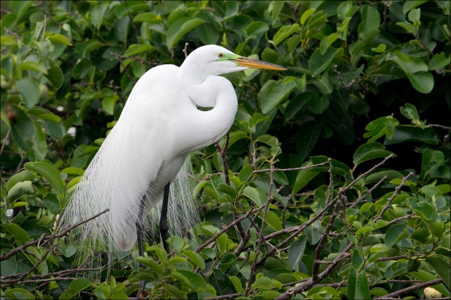 GreatEgret2015FB