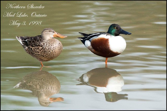 NorthernShoveler2015